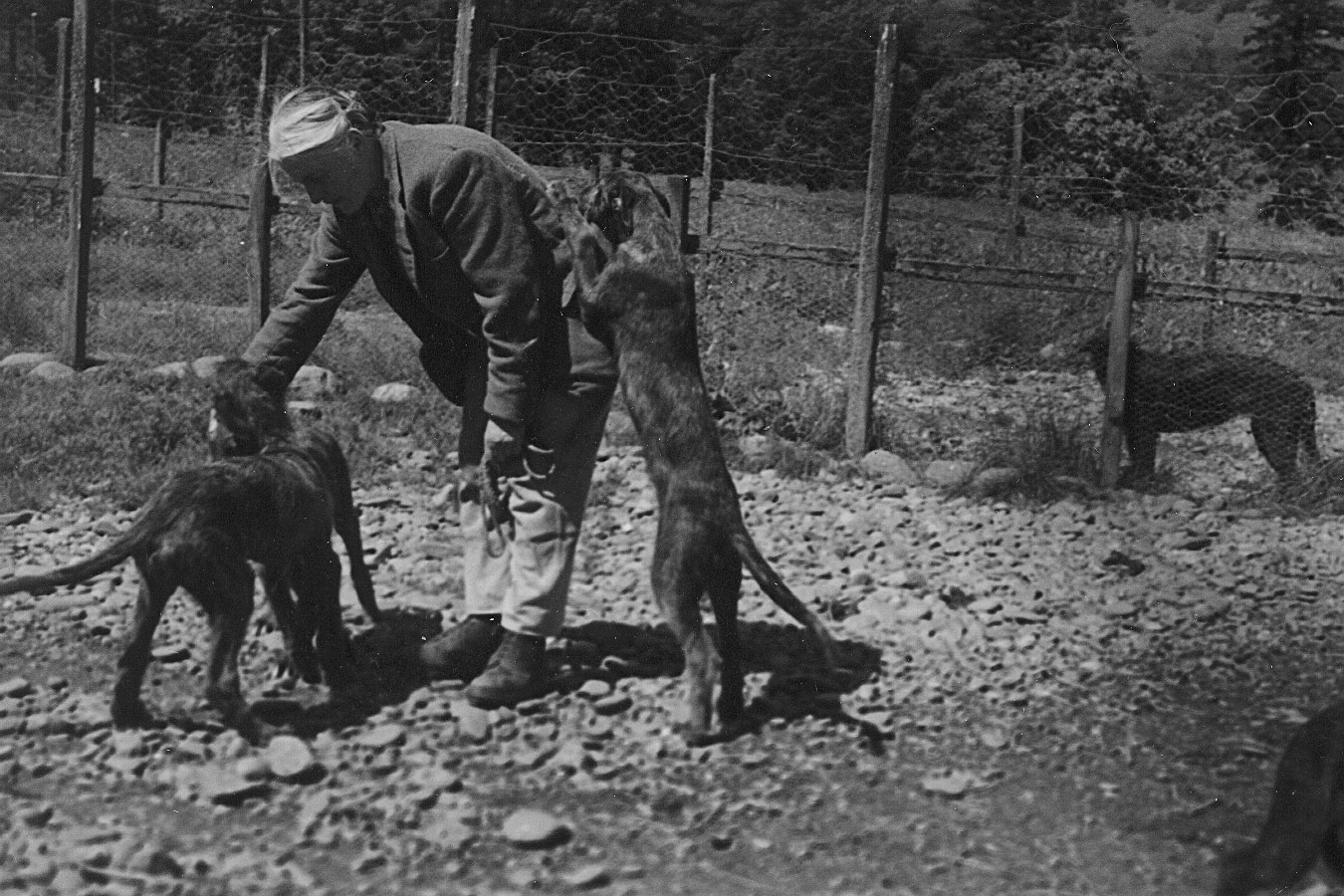 "1966 photo of Ch. Mac of Bencomb x Berenice of Ardkinglas puppies (""R"" litter)"